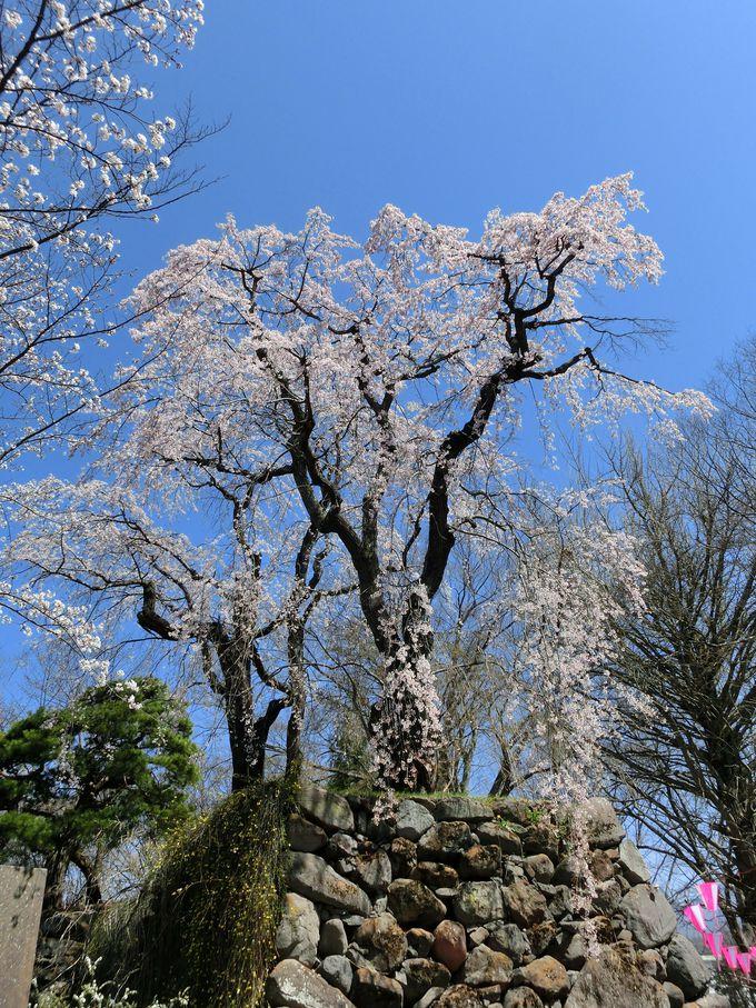 懐古園内には桜がいっぱい