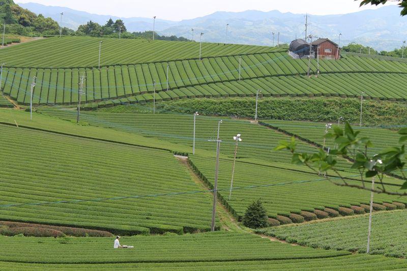 香り高き絶景!福岡「八女中央大茶園」でトレッキング体験