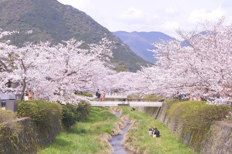 絶景春写真の名所!桜並木が超キレイ!山口市「一の坂川」