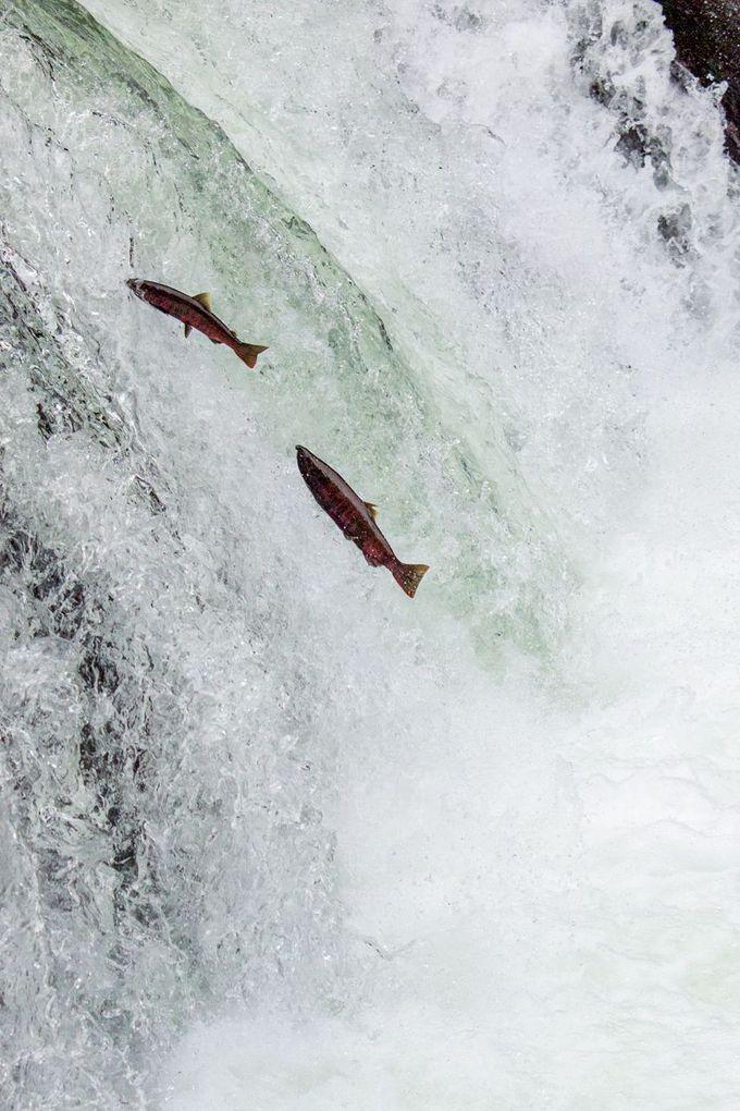 感動、さくらの滝!サクラマスの滝越えジャンプ