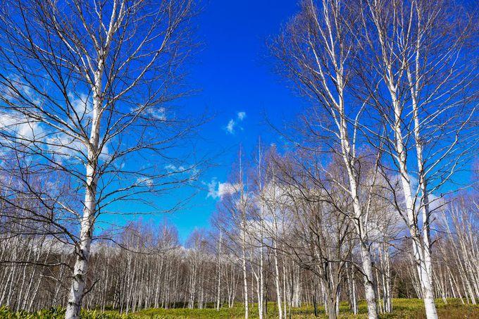 十勝三股の白樺林