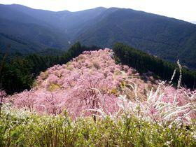 まるで桃源郷!奈良・東吉野の「天空の庭 高見の郷」は1000本のしだれ桜が咲き誇る名所|奈良県|トラベルjp<たびねす>