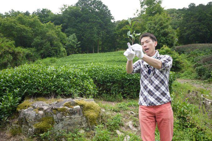 いよいよメインイベントの茶摘み体験!