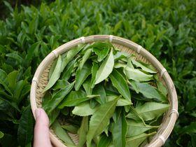 日本人の心!緑茶の里、日本遺産、京都・和束で茶摘みを体験!|京都府|トラベルjp<たびねす>