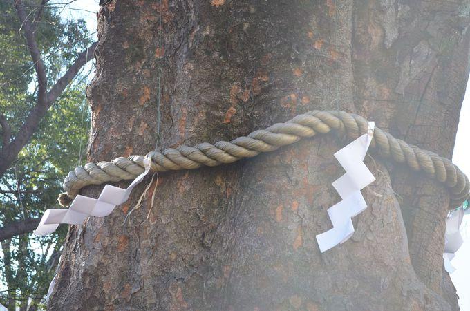 大國魂神社のシンボルはケヤキの巨木