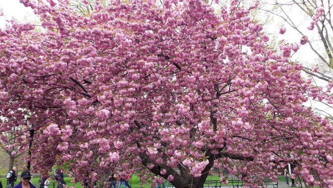 観光の定番!セントラルパークのお花見スポット