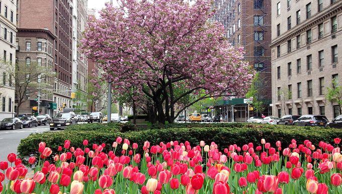 パークアベニューでは桜とチューリップのコラボが