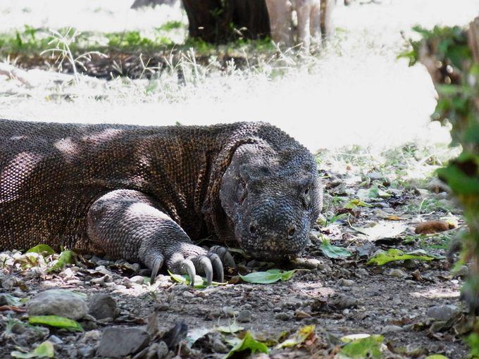 世界最恐の爬虫類「コモドドラゴン」を探す冒険へ