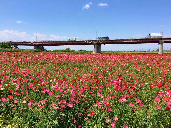 川幅日本一の河川敷に日本一のポピー畑「ポピー・ハッピースクエア」