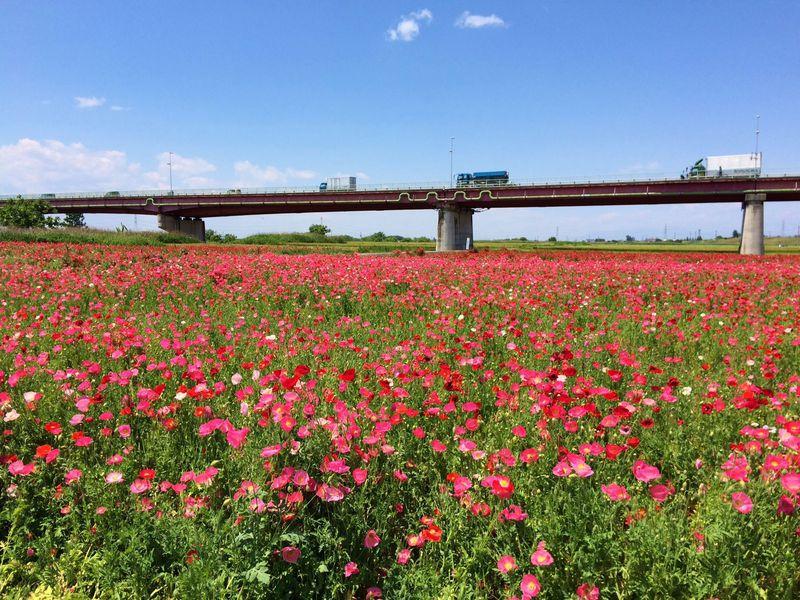 花のまち埼玉県鴻巣市「こうのす花まつり」で春を満喫しよう