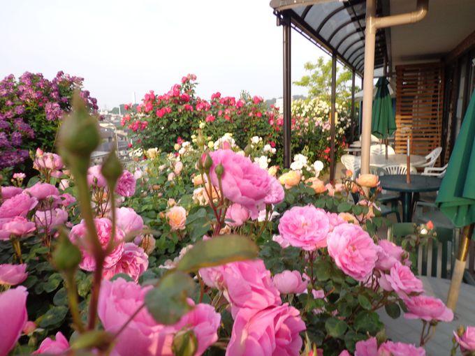 なんと500〜600種類ものバラ!一番の見頃は5月下旬から6月半ば