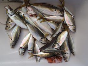 リアル釣りバカ!今がおいしい東京湾のアジ釣り!|神奈川県|トラベルjp<たびねす>