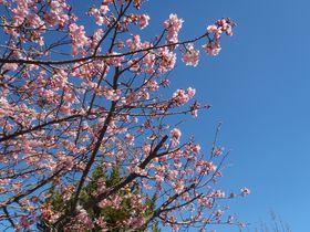 日本一早い花見風呂?伊豆・峰温泉の「踊り子温泉会館」!|静岡県|トラベルjp<たびねす>