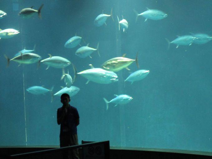 大水槽「大洋の航海者」の中を休まずに泳ぎ続ける「クロマグロ」と「スマ」の大群