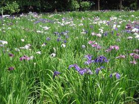 ハナショウブと紫陽花が一緒に楽しめる!千葉「長谷山本土寺」|千葉県|トラベルjp<たびねす>