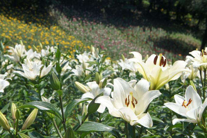 自然林の中に咲き誇る、50種類・約45万株のゆり
