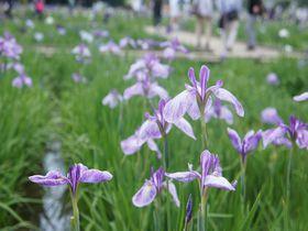 珍しい品種も!初夏、花菖蒲が咲き誇る東京・東村山市の「北山公園」で、紫をもっと好きになる!|東京都|トラベルjp<たびねす>
