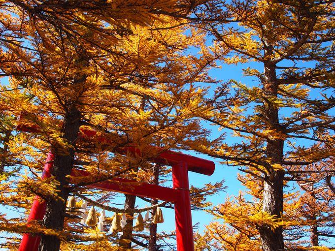 特におすすめなのは、カラマツの黄葉が輝く秋
