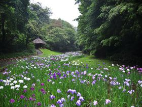 100年の森に息づく永遠の愛「明治神宮御苑」の花菖蒲|東京都|トラベルjp<たびねす>
