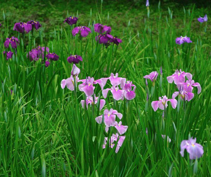 「明治神宮御苑」の花菖蒲は、明治天皇から昭憲皇太后への贈り物