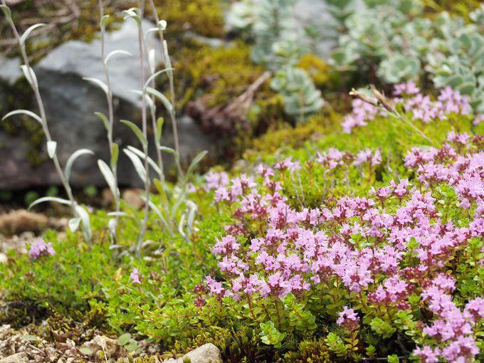 高山植物などの花々を堪能できる「アルプの里」