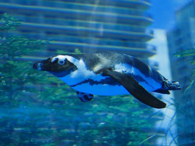 ペンギンが都会の空を飛ぶ?「天空のペンギン」