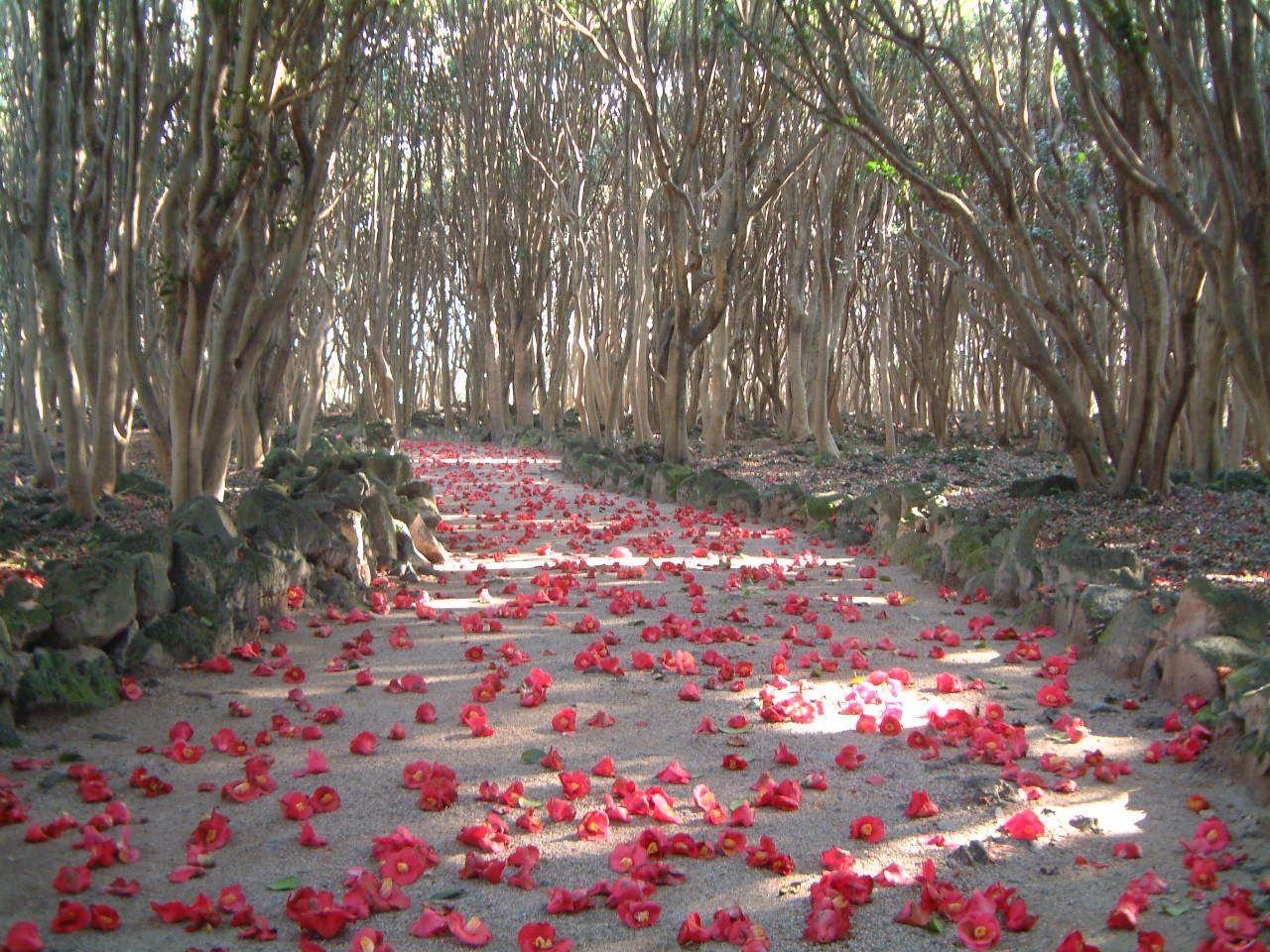 ヤブツバキ約2万5千本!萩市「笠山椿群生林」で早春お花見