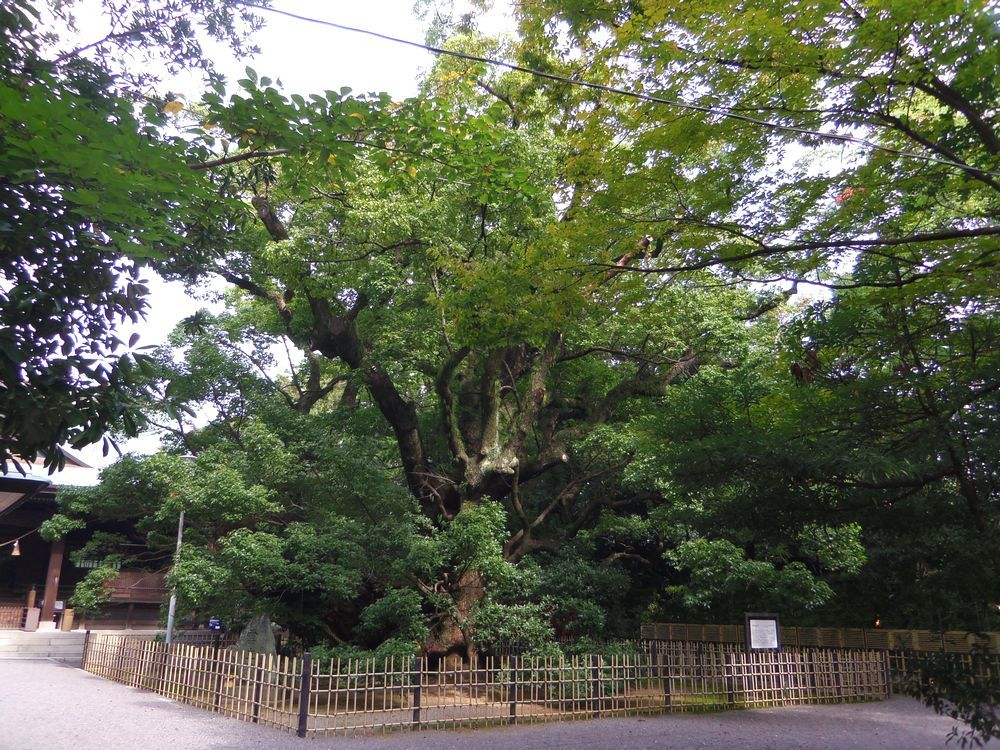 ご神木・楠の巨樹に瑞雲が!「浜松八幡宮」