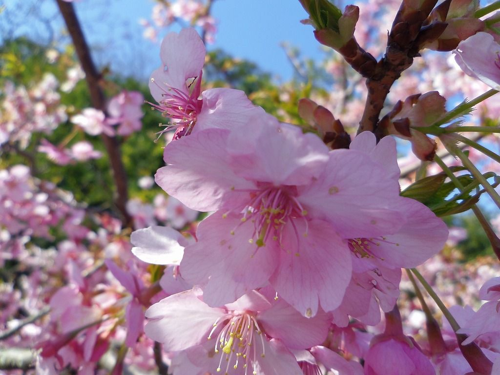 河津桜の新名所!御前崎市「白砂公園北側の河津桜並木」と三島「楽寿園」