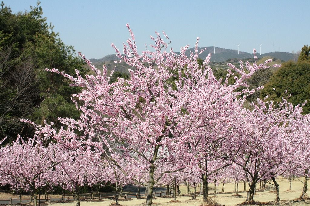 アーモンドの花が広場をピンクに染める