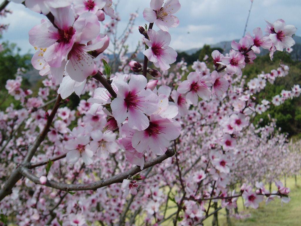 国内最大級!華やかなアーモンドの花見スポット「はままつフルーツパーク時之栖」