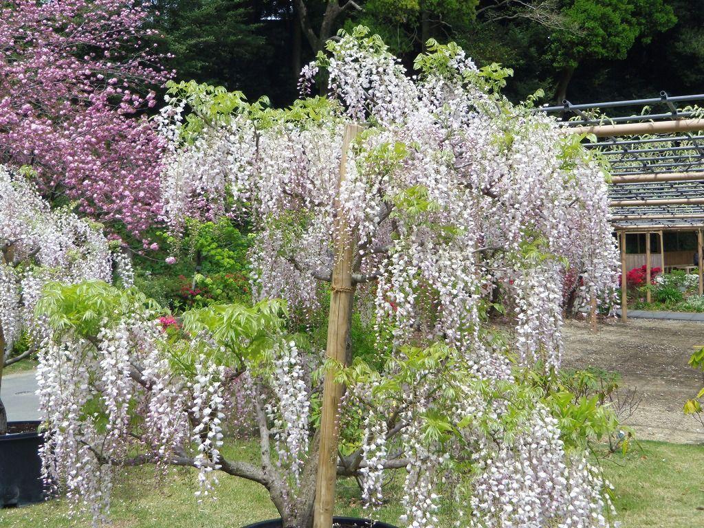 チューリップに藤…八重桜以外の花見どころ