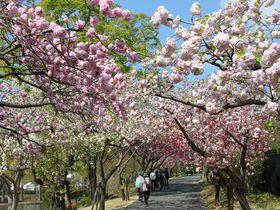 八重桜のトンネルがすごい!浜名湖「はままつフラワーパーク」|静岡県|トラベルjp<たびねす>