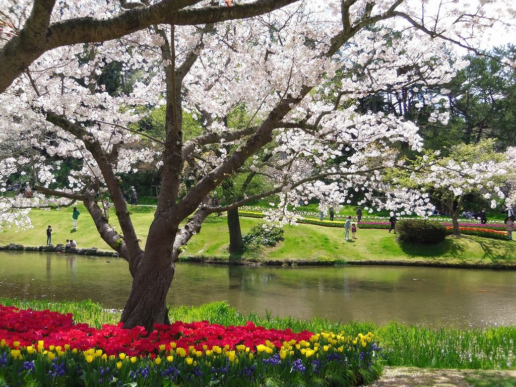 桜×チューリップの華やかな競演