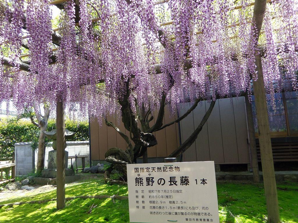 いにしえの時代から愛されてきた「熊野の長藤」とは