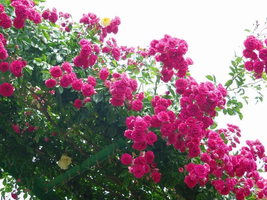 180度バラの美しさを堪能できる大アーチ♪