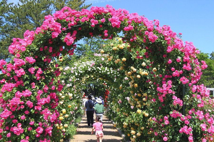 華やかな色彩のツルバラのトンネルが魅了「はままつフラワーパーク」