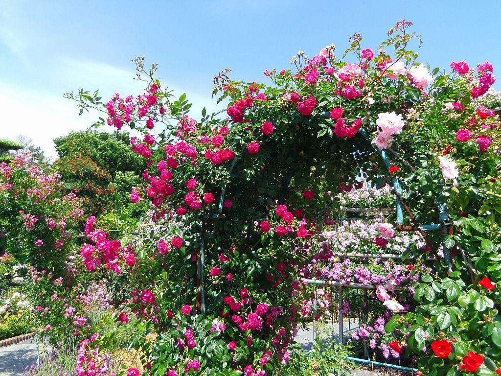 全国花のまちづくりコンクール最高賞受賞のオープンガーデン「ばらの都苑 研究畑」