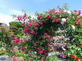 バラ以外の花も充実!浜松「ばらの都苑研究畑」