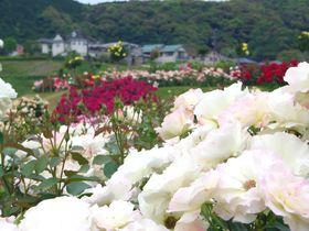 丘ひとつ、まるごとバラ園!静岡「島田市ばらの丘公園」