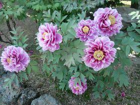 初夏が見頃!島根県大根島・魅惑の牡丹園3選|島根県|トラベルjp<たびねす>