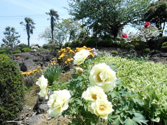 牡丹と「いずも南京」そして溶岩庭園が楽しめる「大根島本陣」