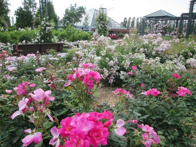 8000株以上のバラが咲き誇る!いわみざわ公園「バラ園」