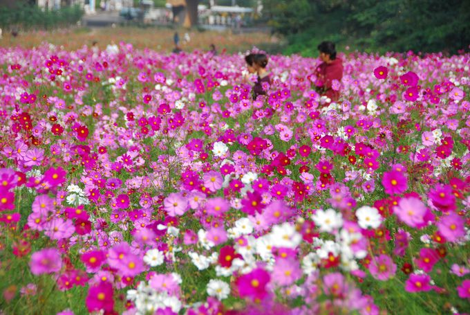 100万本のコスモスが織りなす花の絨毯