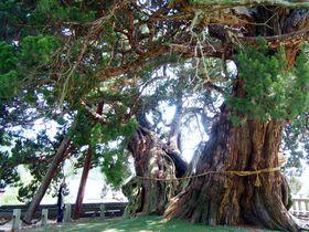 これが盆栽!?小豆島「宝生院のシンパク」写真には納まりきらない大迫力とパワー|香川県|トラベルjp<たびねす>