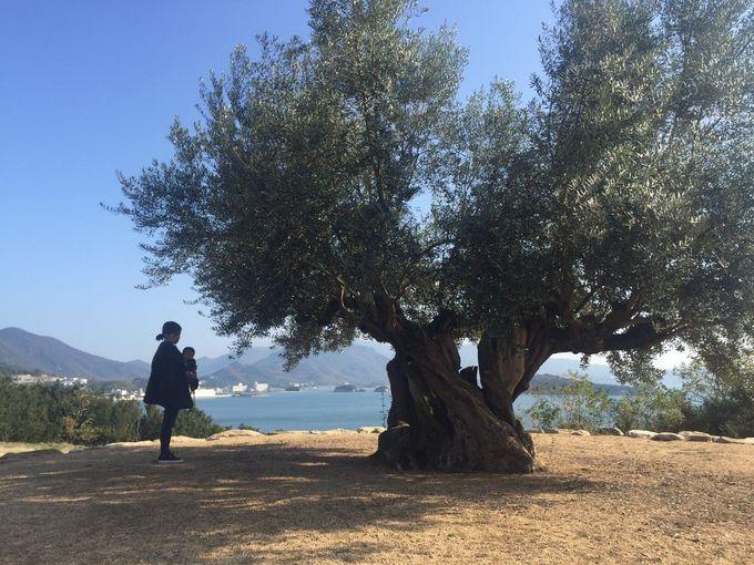 小豆島を人々を見守る「樹齢千年オリーブ大樹」