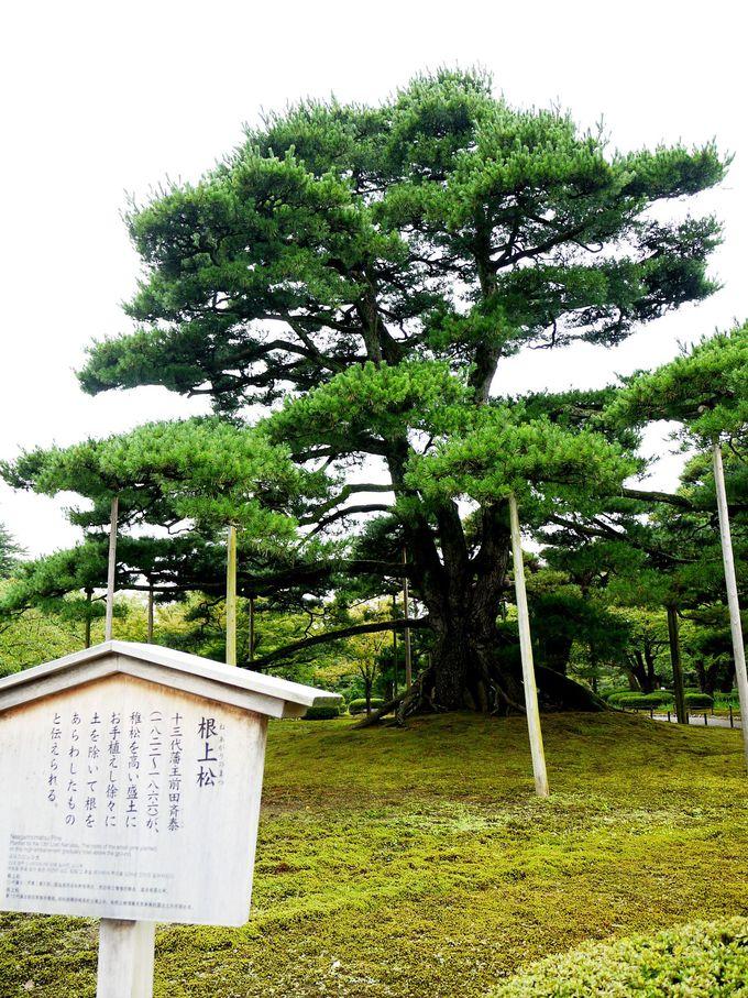 不思議な松の木・根上松(ねあがりまつ)