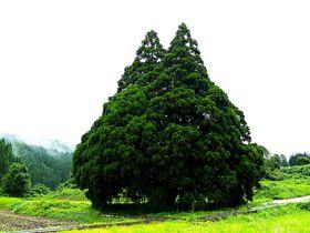 「トトロだ!」思わず声が出る 山形県鮭川村「小杉の大杉(トトロの木)」を見に行こう