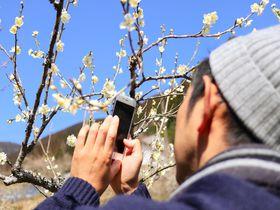 桜の前に!高知・土佐山「嫁石梅まつり」で花見|高知県|トラベルjp<たびねす>