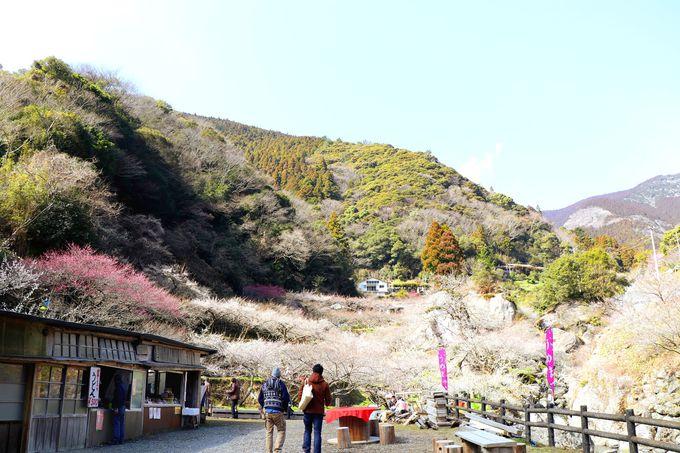 高知市の山奥に約1500もの梅の木が!
